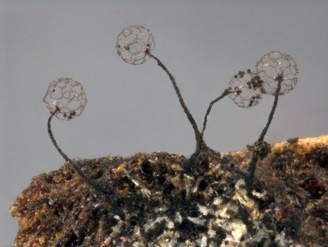 Hongo 'Clastoderma Confusum'