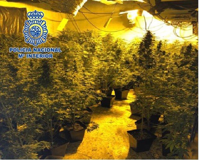 Marihuana intervenida en un cultivo de El Ejido (Almería)