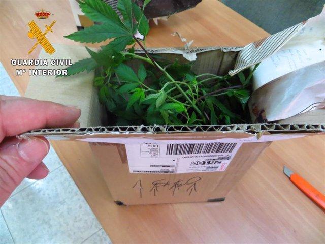 Planta de marihuana localizada en un paquete postal