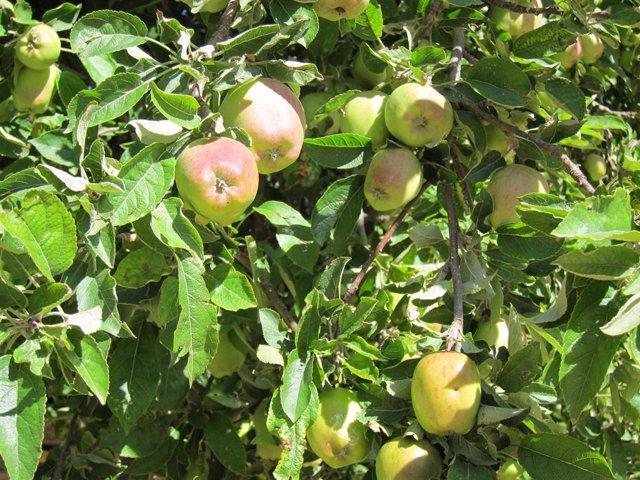 Coronavirus.- Suben los precios de la cadena de valor de la manzana y la pera en