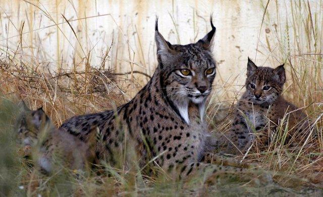 El proyecto 'Life Lynx Connect' de protección del lince supera con éxito el exam