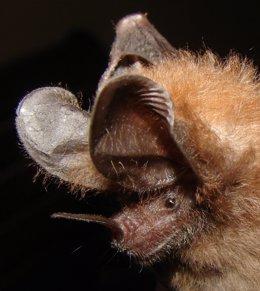 Un ratpenat 'Micronycteris microtis'