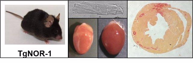 Los Animales Transgénicos Para NOR-1 (Tgnor-1) Tienen Células Cardiacas (Cardiomiocitos) De Mayor Tamaño Y Mayor Predisposición A Desarrollar Hipertrofia (Aumento De Tamaño Del Corazón) Y A Acumular Colágeno En El Miocardio (Fibrosis).
