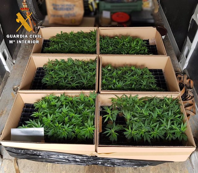 Plantas intervenidas por la Guardia Civil en Montoro