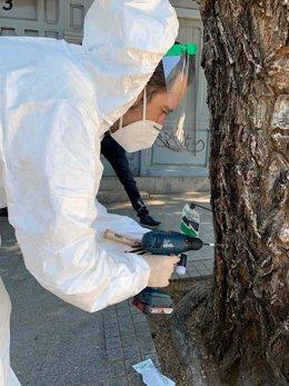 El Ayuntamiento de Madrid inicia la campaña de control del escarabajo galeruca en más de 17.000 olmos