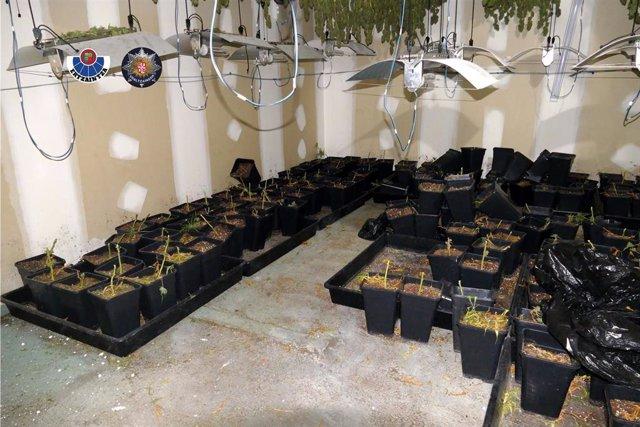 Plantación de marihuana descubierta en Mungia (Bizkaia).