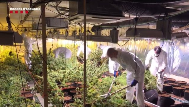 Plantación de marihuana en Cubelles