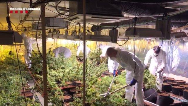 Plantació de marihuana a Cubelles
