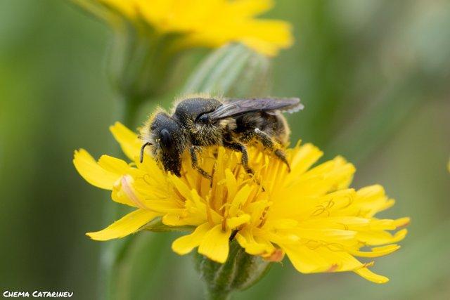 Imagen de una abeja durante la polinización