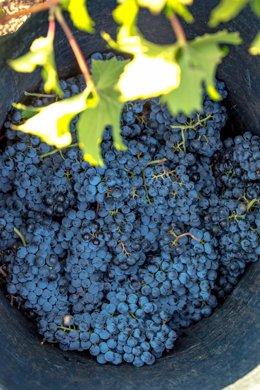 Racimos de uva durante la vendimia.