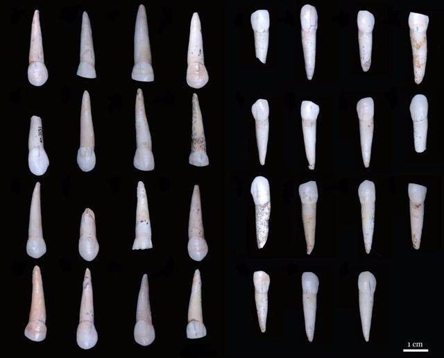 Dientes permiten determinar el sexo en pobladores jóvenes de Atapuerca