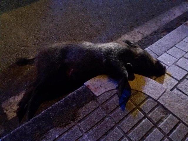 Jabalí abatido por la Policia Local de Vigo, cuando merodeaba por la vía pública en el barrio vigués de Coia.