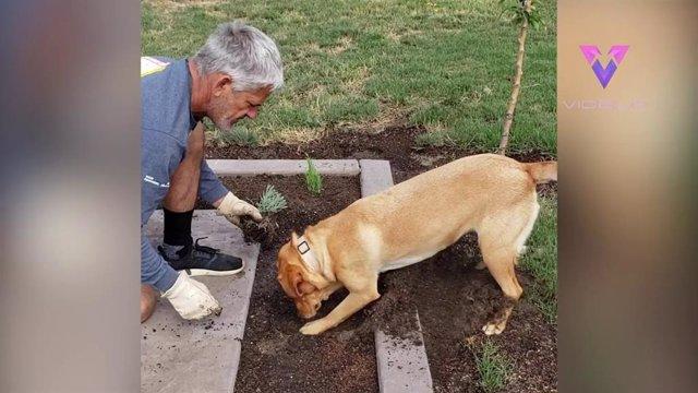 Este perro ayuda a su dueño con las labores de jardinería