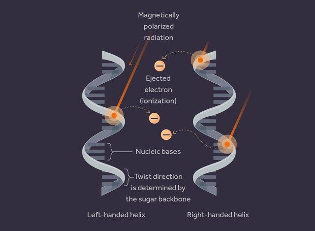 """La radiación polarizada magnéticamente ioniza preferentemente un tipo de """"mano"""" que conduce a una tasa de mutación ligeramente diferente entre las dos formas de vida proto-espejo."""