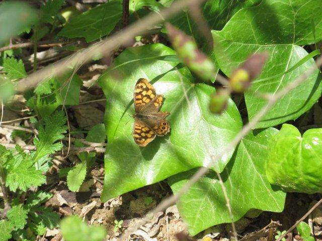 Una mariposa de la especie Bruna