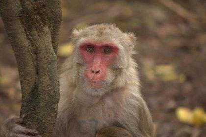 Dos estudios confirman que los macacos que pasan el COVID-19 generan inmunidad