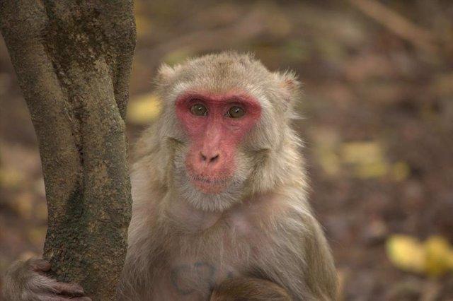 Mono macaco rhesus hembra
