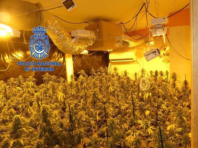 Plantació de marihuana a Vilanova del Camí