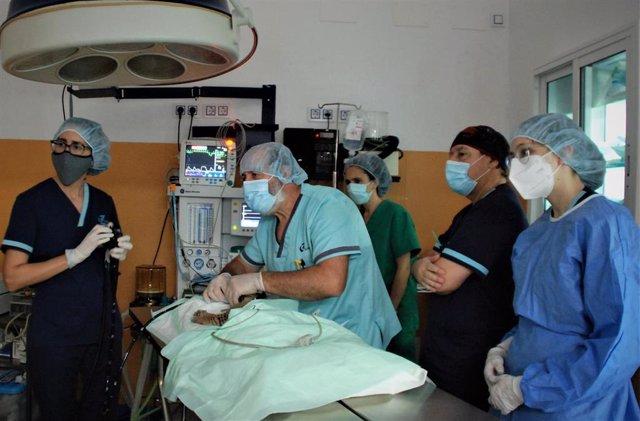 Intervención en quirófano de un cachorro de lince en el Hospital Veterinario Guadiamar de Sanlúcar la Mayor (Sevilla).