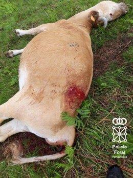 Vaca 'betizu' muerta por un disparo en Goizueta