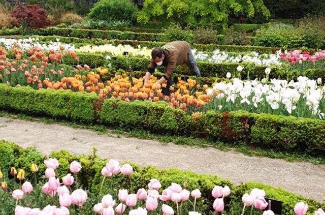 El Real Jardín Botánico (CSIC) regala a los hospitales de Madrid cientos de tulipanes para agradecer a los sanitarios su labor durante la pandemia.