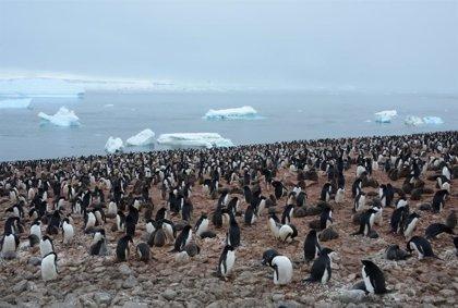 Los pingüinos rey generan ingentes cantidades de gas de la risa