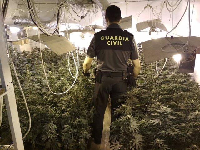 Intervenida 243 plantas de marihuana en Mengíbar (Jaén)