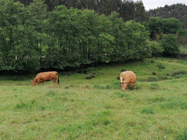 Vacas en un prado de Gozón, Asturias.