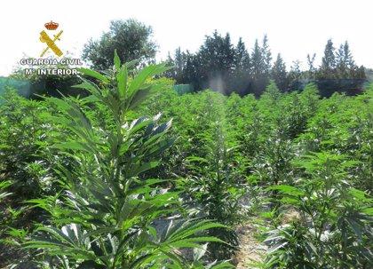 La Guardia Civil desmantela en Mula un cultivo ilícito de marihuana con más de 600 plantas
