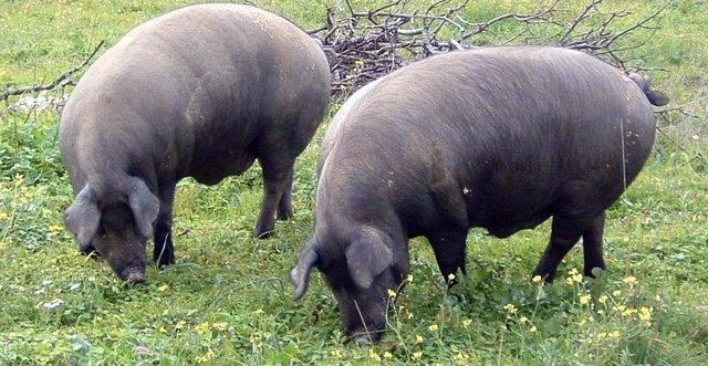 Cerdos ibéricos pastando en Extremadura