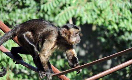 Vuelve al Zoo de Madrid un mono capuchino que se escapó anoche del recinto tras una discusión con su jefe