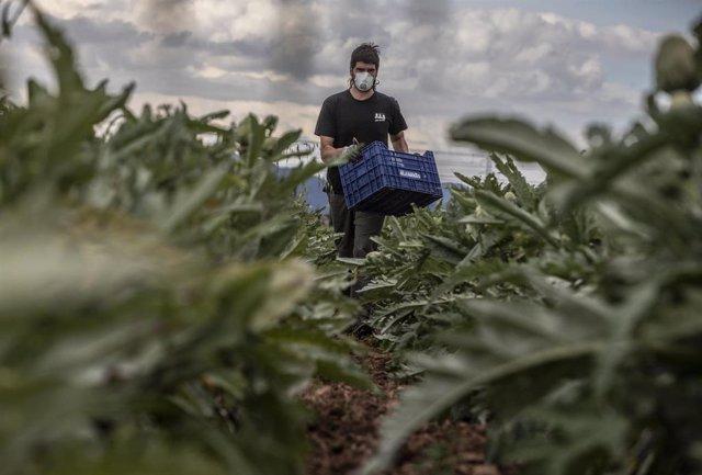 """David, el jefe del proyecto de agricultura ecológica """"Horta y Salut"""", trabaja en sus tierras y recoge productos que luego serán distribuidos por él mismo a grupos de consumo, particulares y supermercados de KM 0,"""