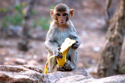 Varios monos roban muestras de pacientes ingresados por COVID-19 en un hospital de India