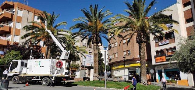Jaén.- Ayuntamiento trata más de 420 palmeras para evitar propagación del picudo