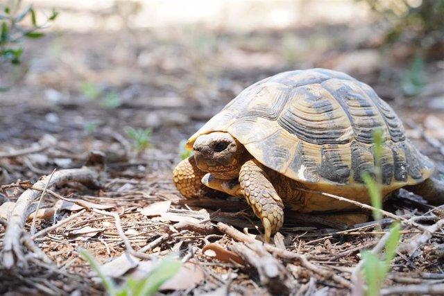 Liberados 217 ejemplares de tortuga Mediterránea en Felanitx.