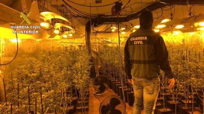 Ocho detenidos y más de 5.000 plantas de marihuana incautadas, saldo de la operación 'Hanoi' en Toledo