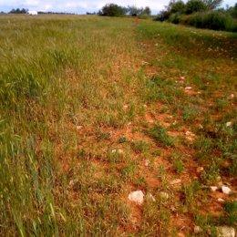 Un campo de cereal comido por la fauna en la Alcarria madrileña
