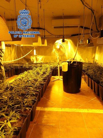 Desmantela una plantación de marihuana con capacidad para producir 130 kilos en Olías
