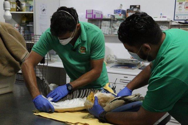 Veterinarios curan al guirre ya recuperado
