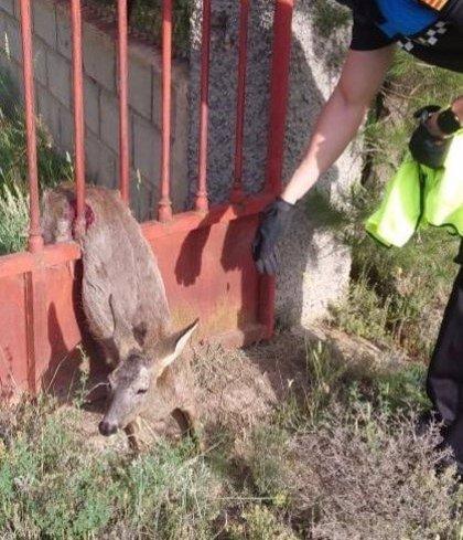 La Policía Local de Teruel rescata a un corzo atrapado en una valla de una vivienda
