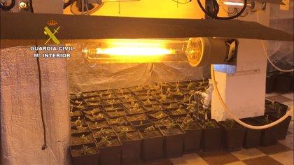 Guardia Civil desmantela una plantación de marihuana 'indoor' en El Casar y se incauta de 23 kilos en cogollos