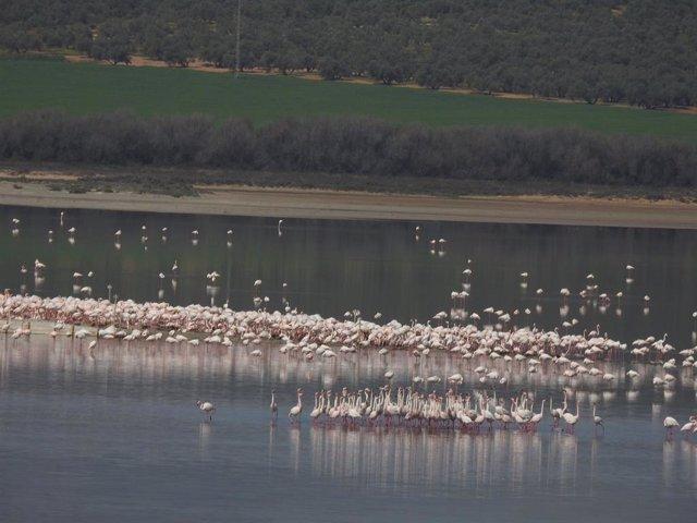 Grupo de cortejo de flamencos en la Laguna de Fuente de Piedra, en este municipio malagueño