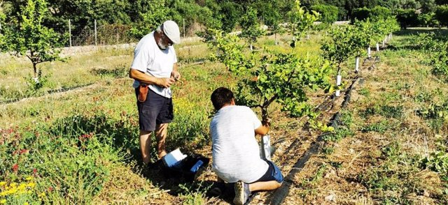 Plantación de cítricos en la finca pública de Raixa.