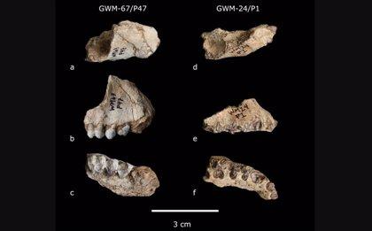 Dos nuevas especies de primates, excavadas en un yacimiento de Etiopía