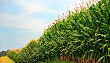 Esqueletos muestran la incorporación del maiz a la dieta hace 4.700 años