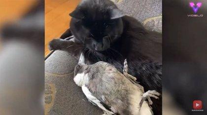Así es la inusual amistad entre una urraca rescatada y un gato