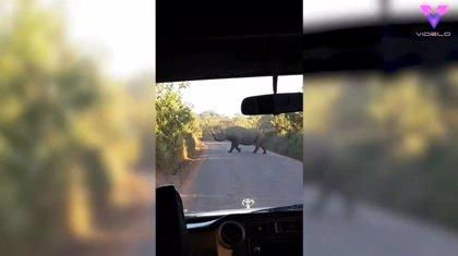 Un grupo de turistas se libra del ataque de un rinoceronte en Tanzania