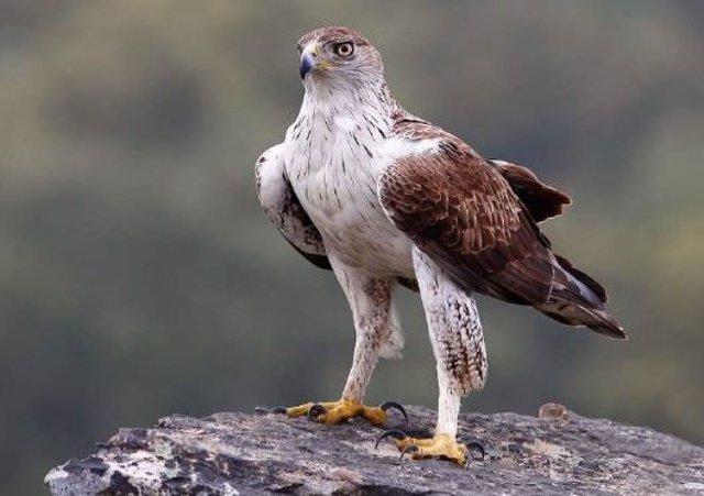 Imagen del águila perdicera