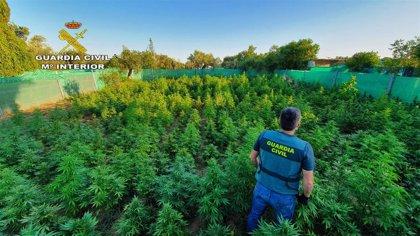 Decretada libertad con cargos para los tres detenidos por cultivo de marihuana en una finca de Utrera (Sevilla)