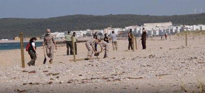 La Junta apoya la protección de nidificaciones de chorlitejo patinegro en el litoral de Barbate (Cádiz)